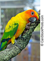 Sun Conure has a rich yellow crown, nape, mantle, lesser...