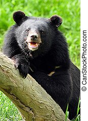 asiatic black bear - Asian black bears are close relatives...
