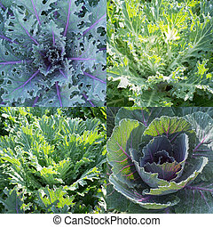 Green ornamental cabbage