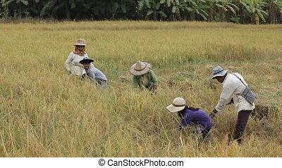 asian farmer harvesting - Burmese farmers family harvesting...