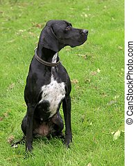Black english pointer dog on the summer meadow
