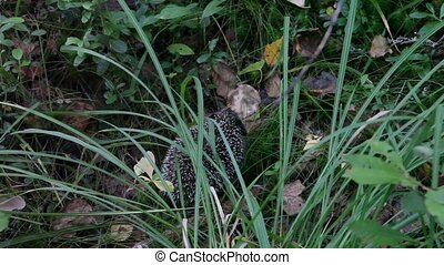 Hedgehog in grass - little black hedgehog walking in grass