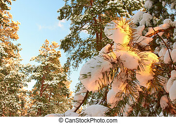 Sunrise.Frosty morning in a mysterious snow-white pine...
