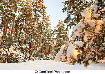 Sunrise.Frosty morning in a mysterious snow-white pine forest