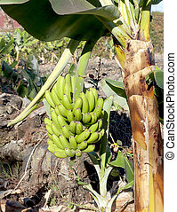 Banana plantation located on the Canary island of Tenerife...
