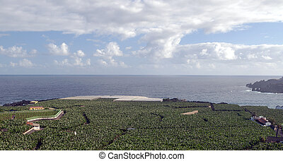 Banana plantation by the sea