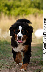 Bernese mountain dog on a easy jog and tongue out of his/her...