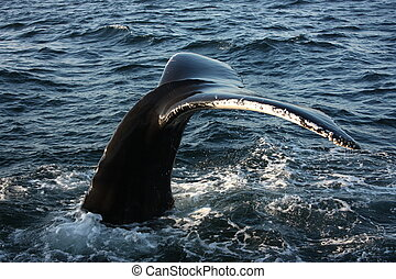 Lobbing Whale Tail - Whale lobbing its tail just before...
