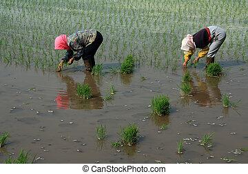 rice seedling transplanting in rural China