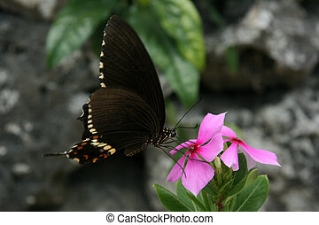 Black Butterfly - Taketomi Island , Okinawa, Japan -...