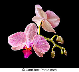 Orchid - Phalaenopsis. Orchid on black background