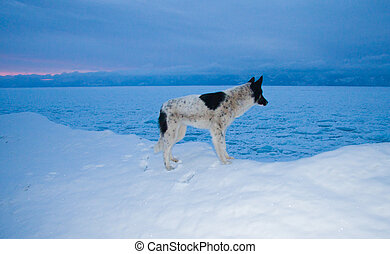 Dog on Olkhon - Dog in the snow Olkhon