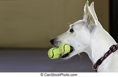 Dog with a toy of tennis balls - Closeup of a white dog with...