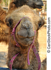Bactrian camel - The Bactrian camel is a large even-toed...