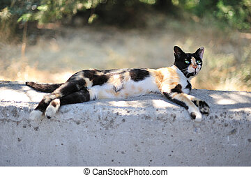 Calico cat - Cat of tortoiseshell coloration lying idly on a...