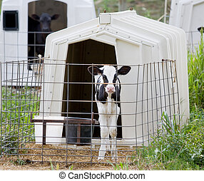 Calf in a Cage - One of Many Calves in Cages on a Farm