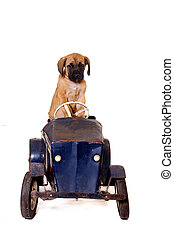 Puppy in vintage car - English Mastiff puppy in a vintage...