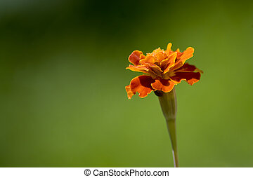 Marigold - A single isolated marigold flower over a green...