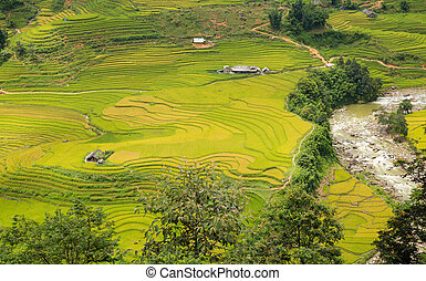 Rice plantation - Rice terraces with typical houses near...