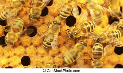 Close-up view of bees in honeycombs. DoF.