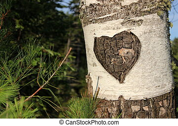 Carved heart in bark of birch tree - Simple carved heart in...