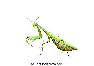 Praying mantis - praying mantis sitting on a rock, closeup