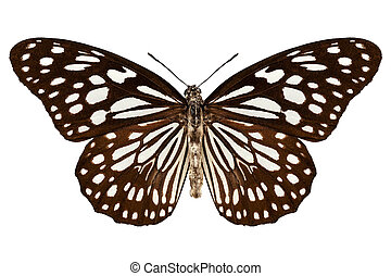 "Butterfly species Tirumala limniace ""Blue Tiger"" in high..."
