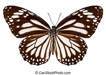 """Butterfly species Danaus melanippus """"White Tiger"""" in high..."""