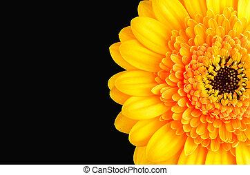 Orange Marigold Flower Isolated on Black - Macro of Orange...