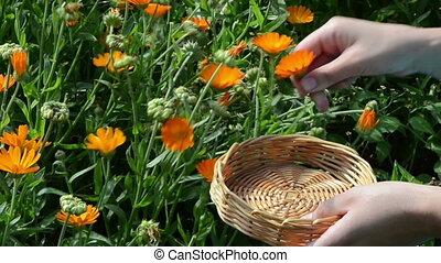 marigold calendula bloom - hand pick marigold calendula herb...