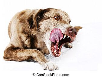 Large mutt dog licking its lips