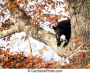 Black bear cub - A cute black bear cub sitting in a tree in...