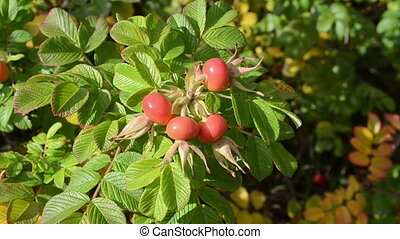 hip rosehip branch wind - hip rosehip rose hip haw hep plant...