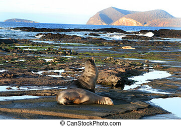 Galapagos Shoreline - Sea Lions rest on the shores of the...