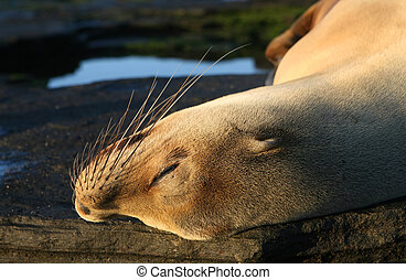 Young Sea Lion - A young female sea lion sleeps under the...