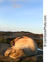 Resting Sea Lion - A beautiful female sea lion resting under...