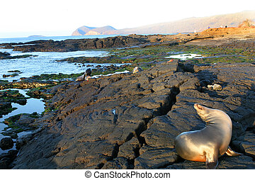 Sea Lions Playing - Sea Lions play on the shores of the...