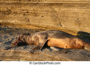 Sea Lion Pup - A young sea lion pup playing with a stick....