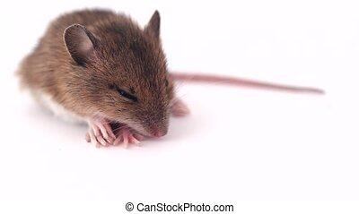 little mouse sleeping on a white background