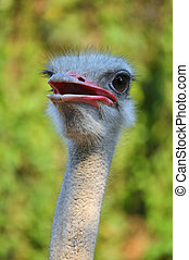 Ostrich - The head and neck of both male and female...