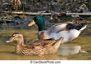 Mallard - The male birds have a bright green or blue head,...