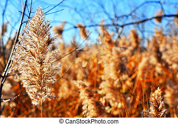 Common reed winterscape - Field of common reed, Phragmite...