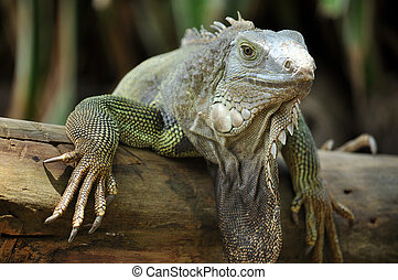 green iguana - The green iguana ranges over a large...
