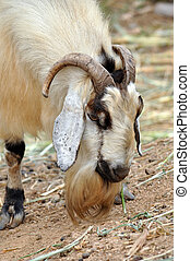 Goats are one of the oldest domesticated species. Goats have...