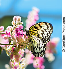 White and black Nymph butterfly on flowers - Nymph (Idea...