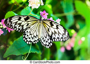 White and black Nimph butterfly on flowers - Nymph (Idea...