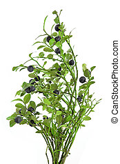 Whortleberry - Small bush of whortleberry with berries on a...
