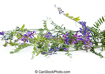 Vicia - Meadow plant with purple flowers on a white...