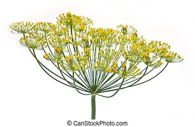 Dill - Inflorescence of garden plant dill on a white...