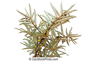 Sea-buckthorn - Branch of plant sea-buckthorn with not...